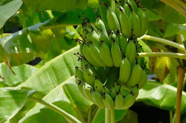 バナナの育ち方